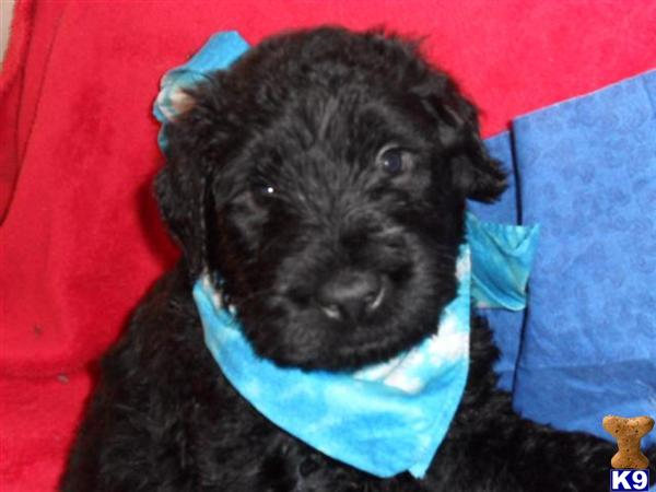 Giant Schnoodles Puppy For Sale Giant Schnoodle Puppies Blacks And