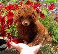 poodle puppy posted by jordanfamilykennels