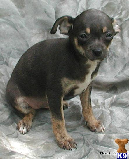 chihuahua puppies for sale in sc chihuahua puppies for sale in south carolina 1180