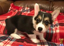 pembroke welsh corgi puppy posted by josianezinnet