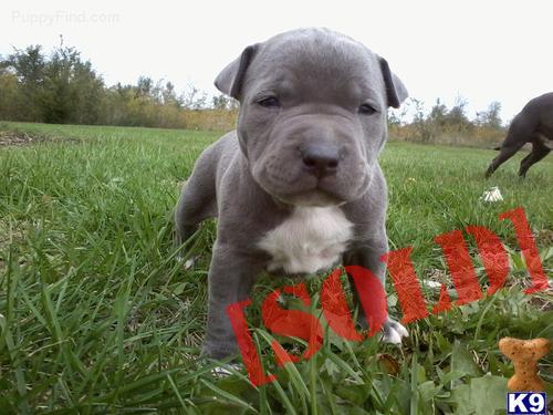 Pics Photos - Pitbull Puppies For Free In Ohio