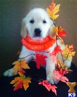 golden retriever puppy posted by jugol