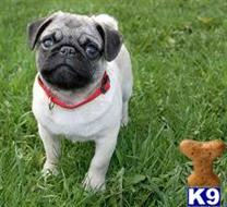 pug puppy posted by juimaser