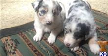 australian shepherd puppy posted by juliatow002