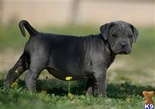 cane corso puppy posted by jumingster