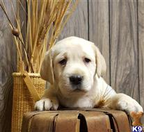 labrador retriever puppy posted by juslabs