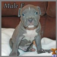 american pit bull puppy posted by jwells20