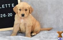 golden retriever puppy posted by k2puppies2010