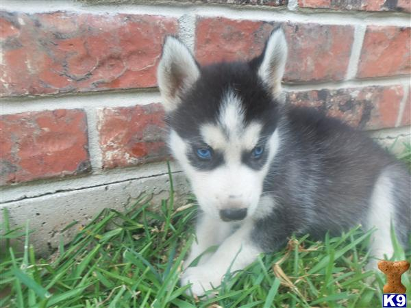 husky puppies for sale perth gumtree wrocawski