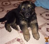 german shepherd puppy posted by k9owner1
