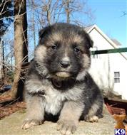 german shepherd puppy posted by k9pines