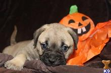 bullmastiff puppy posted by kampbellkennels