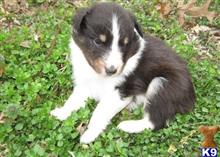shetland sheepdog puppy posted by kancale