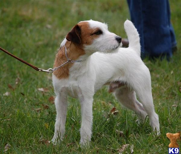 jack russell terrier mass jack russell terrier stud dog cool runnings rock it of 7945