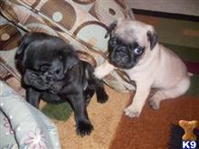 pug puppy posted by karendaisy
