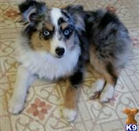 australian shepherd puppy posted by karenmnz
