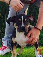 american pit bull puppy posted by kashville kennels