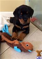 rottweiler puppy posted by katedonky