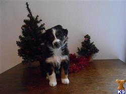 australian shepherd puppy posted by kathkids