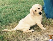 labrador retriever puppy posted by kathrynleigh_02