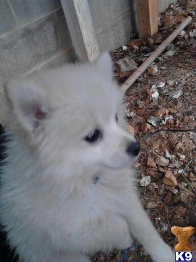 pomeranian puppy posted by kayers1985