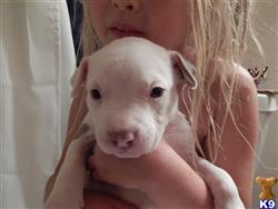american pit bull puppy posted by kellarpups