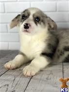 pembroke welsh corgi puppy posted by kelvinjack1912