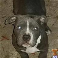 american bully puppy posted by kelvinth