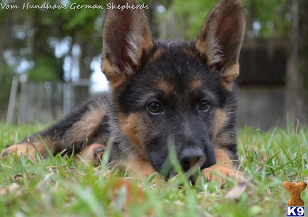 Red Black German Shepherd