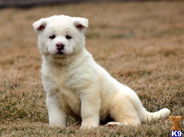 akita puppy posted by keypups123