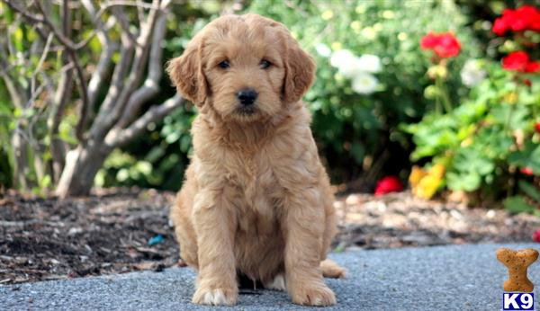 goldendoodles puppy posted by keystonepups