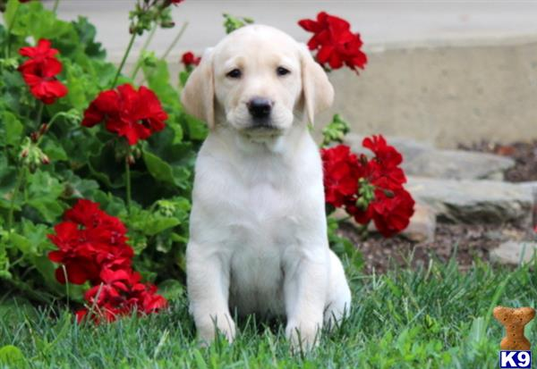 labrador retriever puppy posted by keystonepups