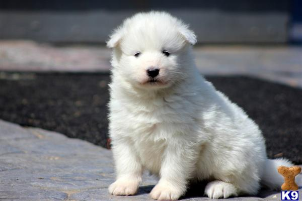Samoyed Puppies For Sale Seattle Wa