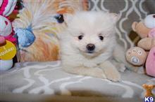 pomeranian puppy posted by kfromuk