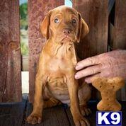 vizsla puppy posted by khintlian