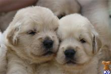 golden retriever puppy posted by kim@doggiants.com