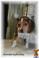 beagle puppy posted by kimberliskuties
