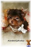 yorkshire terrier puppy posted by kimberliskuties