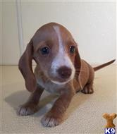 dachshund puppy posted by kkzlm5