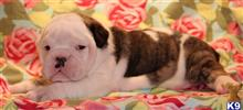 english bulldog puppy posted by kkzlm5