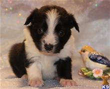 miniature australian shepherd puppy posted by kkzlm5