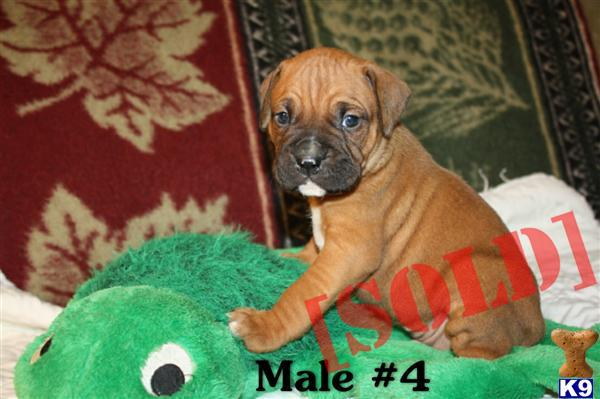 Boxer cross Bullmastiff puppies available in late March