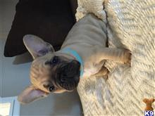 french bulldog puppy posted by knochen