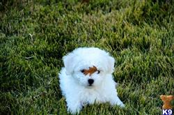 bichon frise puppy posted by kp243