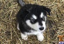 alaskan malamute puppy posted by kparkes020