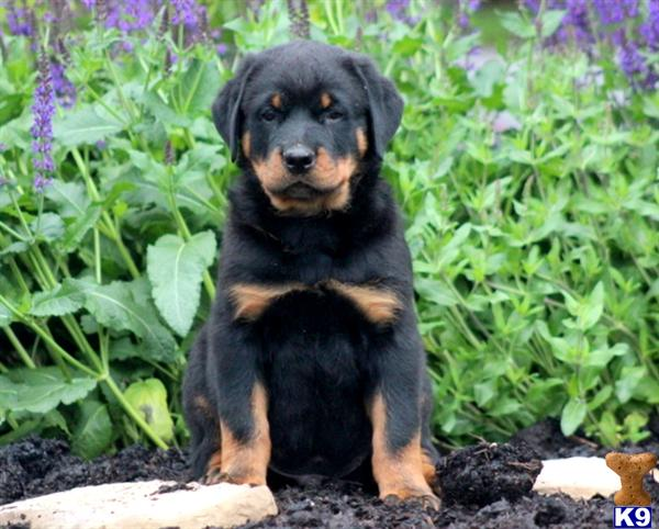 rottweiler puppy posted by kppups123
