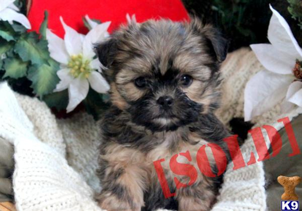 Nugget - Shorkie Male. A Mixed Breed pup for sale located in MOUNT JOY ...