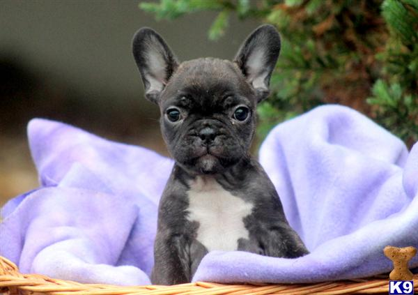 French Bulldog Lancaster Pa | Motorcycle Review and Galleries