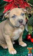 american bully puppy posted by kriddle