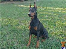 doberman pinscher puppy posted by kristinirvin56